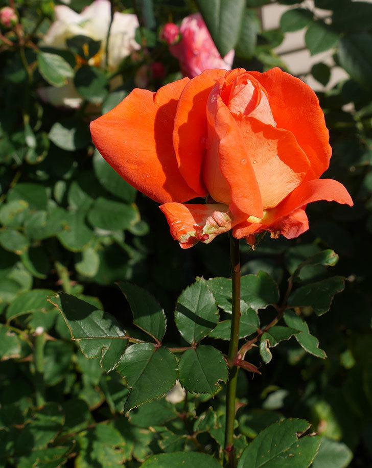 ローラ(木立バラ)の秋花がまた咲いた。2017年-4.jpg