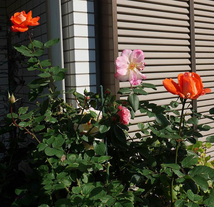ローラ(木立バラ)の秋花がまた咲いた。2017年-5.jpg