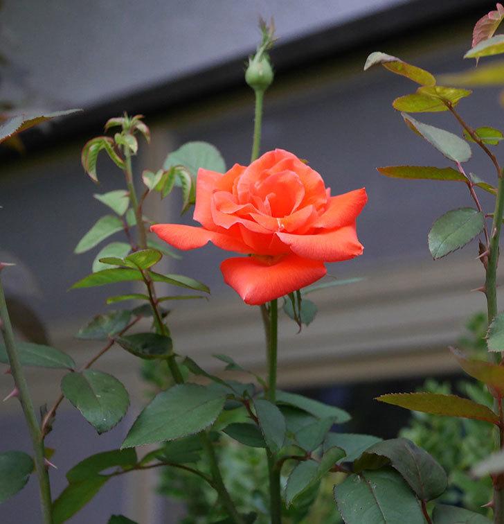 ローラ(木立バラ)の秋花が咲いた。2019年-4.jpg