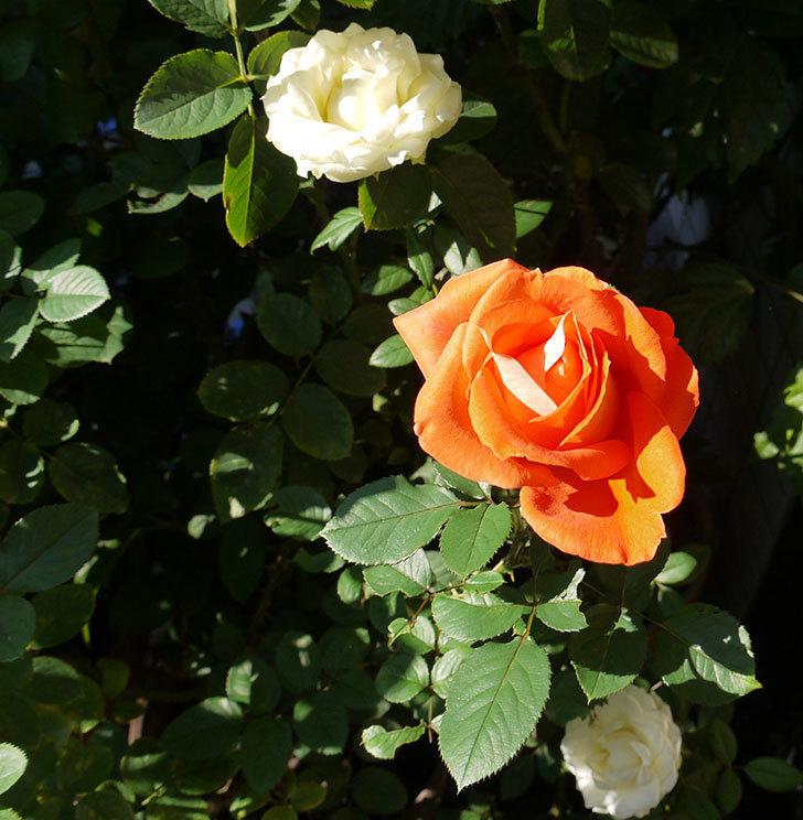 ローラ(木立バラ)の秋花が綺麗に咲いた。2016年-3.jpg