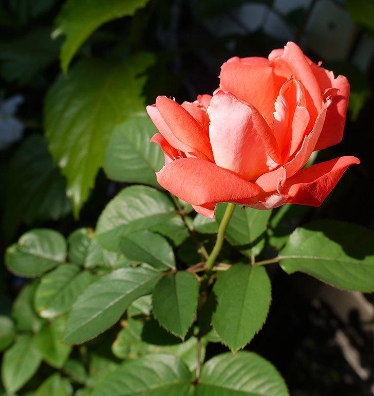 ローラ(木立バラ)の秋花が綺麗に咲いた。2016年-4.jpg