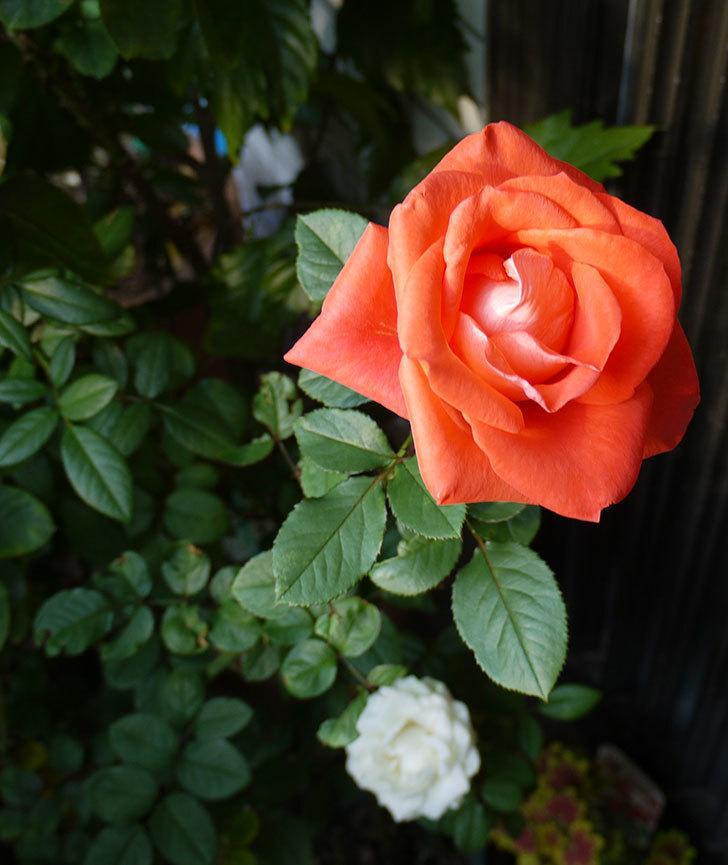 ローラ(木立バラ)の秋花の花保ちがすごくいい。2016年-3.jpg