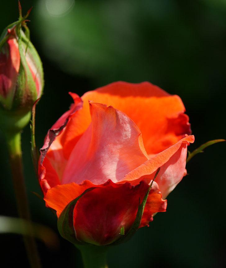 ローラ(木立バラ)の花がすこし咲いた。2020年-2.jpg