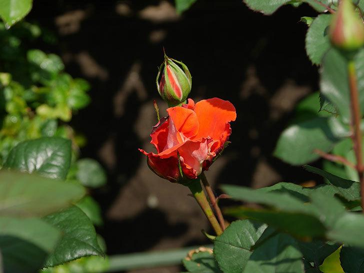 ローラ(木立バラ)の花がすこし咲いた。2020年-3.jpg