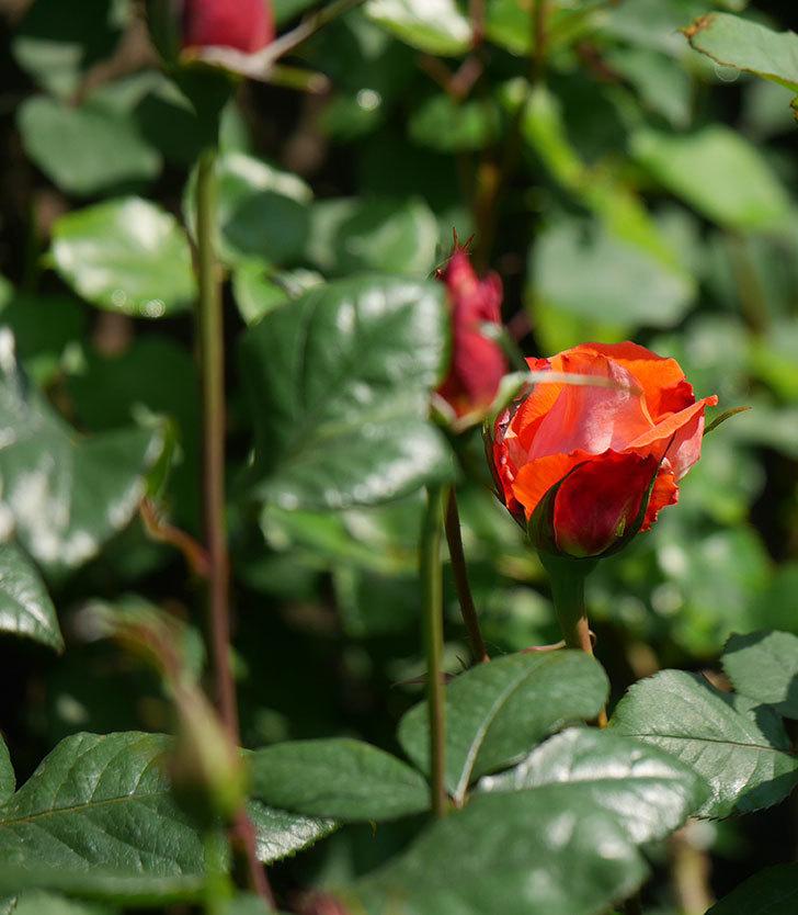ローラ(木立バラ)の花がすこし咲いた。2020年-5.jpg