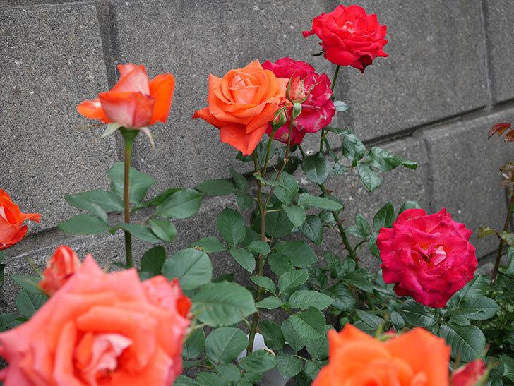 ローラ(木立バラ)の花がたくさん咲いた。2018年-1.jpg