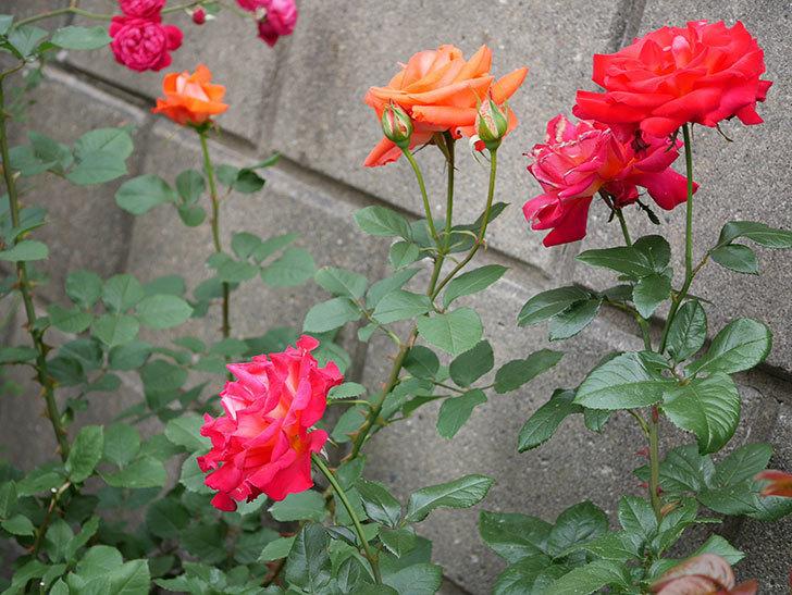 ローラ(木立バラ)の花がたくさん咲いた。2018年-3.jpg