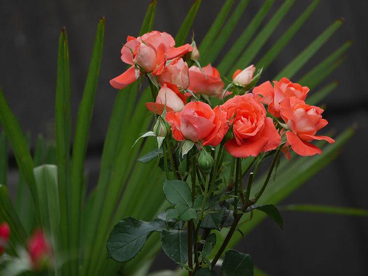 ローラ(木立バラ)の花がたくさん咲いた。2019年-10.jpg