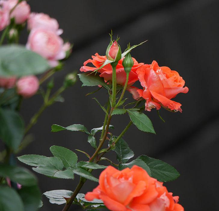 ローラ(木立バラ)の花がたくさん咲いた。2019年-11.jpg