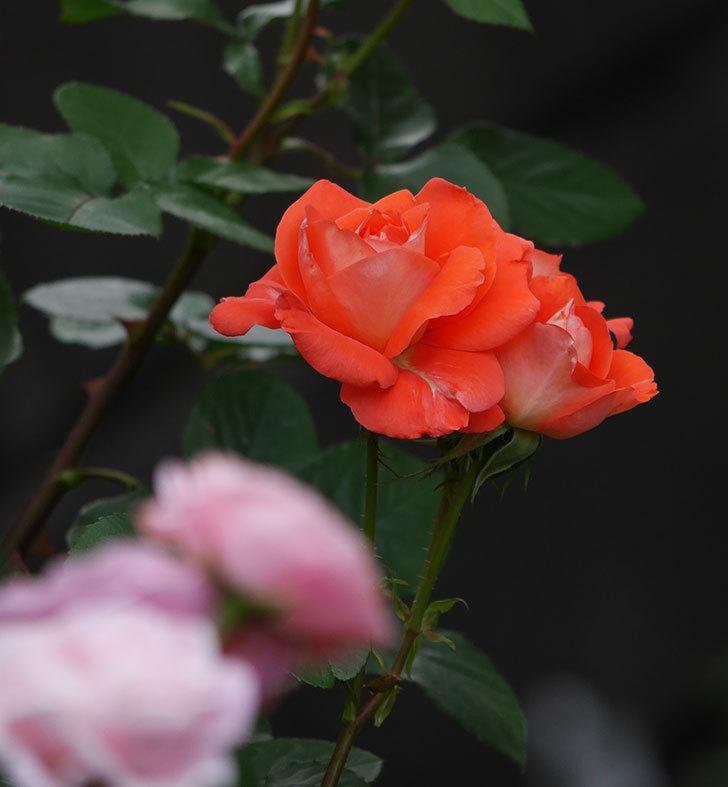 ローラ(木立バラ)の花がたくさん咲いた。2019年-12.jpg