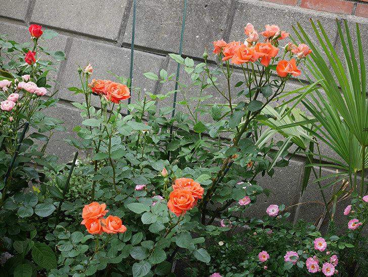 ローラ(木立バラ)の花がたくさん咲いた。2019年-18.jpg