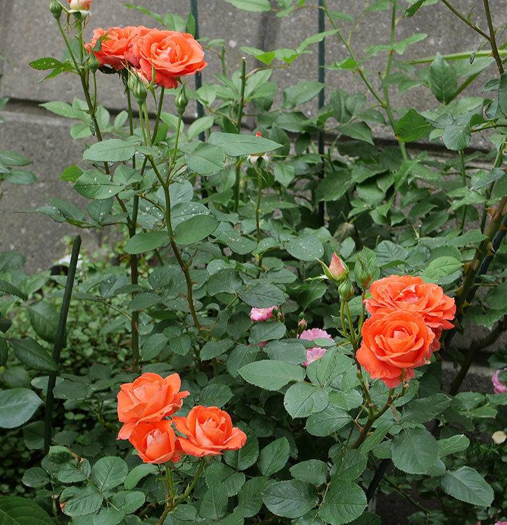 ローラ(木立バラ)の花がたくさん咲いた。2019年-19.jpg