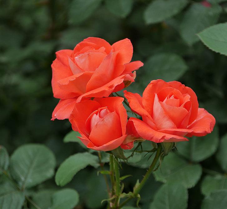 ローラ(木立バラ)の花がたくさん咲いた。2019年-2.jpg