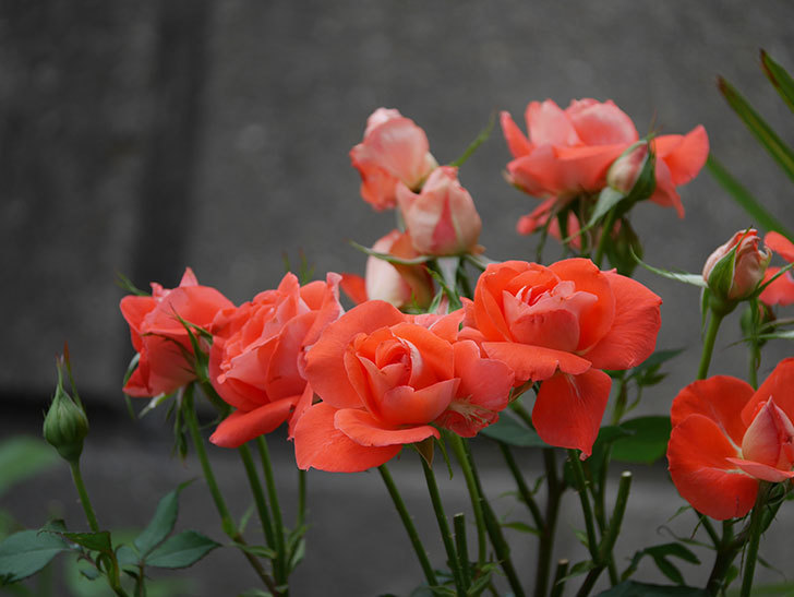 ローラ(木立バラ)の花がたくさん咲いた。2019年-5.jpg