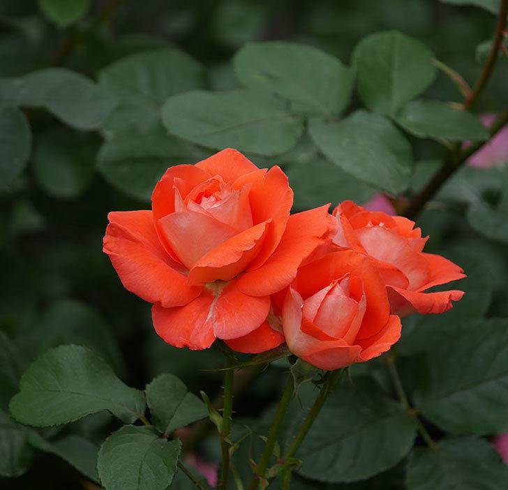 ローラ(木立バラ)の花がたくさん咲いた。2019年-7.jpg