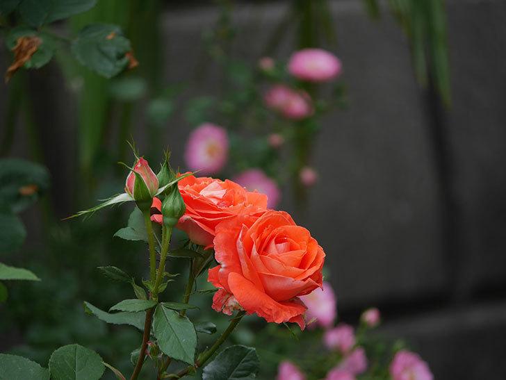 ローラ(木立バラ)の花がたくさん咲いた。2019年-8.jpg