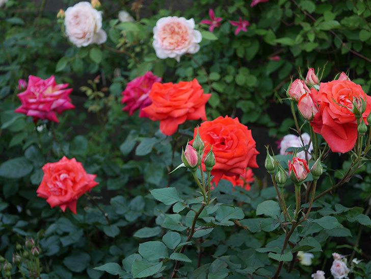 ローラ(木立バラ)の花がたくさん咲いた。2020年-1.jpg