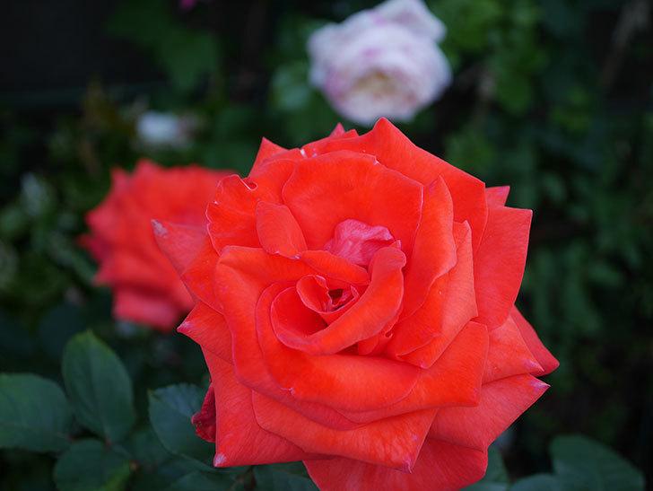 ローラ(木立バラ)の花がたくさん咲いた。2020年-5.jpg