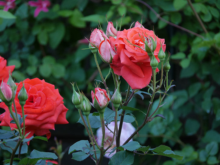 ローラ(木立バラ)の花がたくさん咲いた。2020年-7.jpg