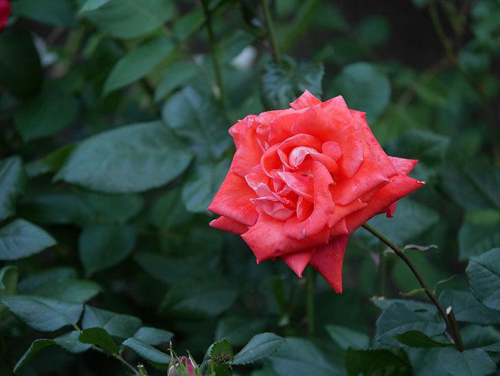 ローラ(木立バラ)の花がたくさん咲いた。2020年-8.jpg
