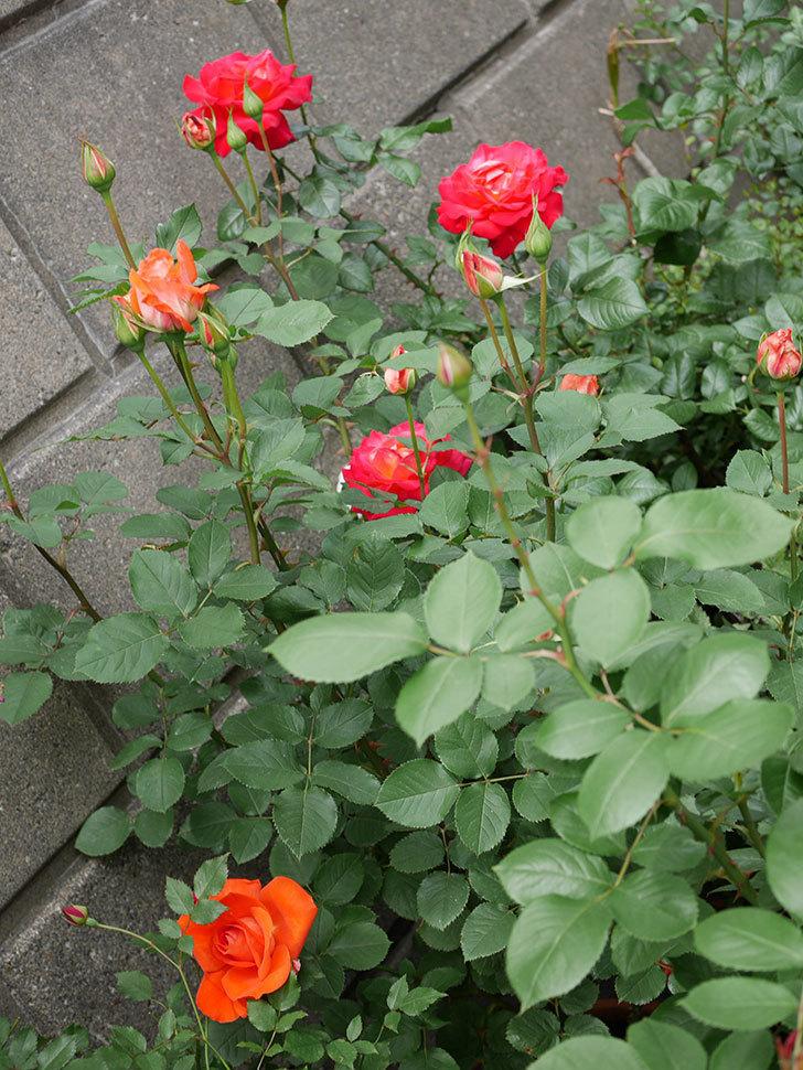ローラ(木立バラ)の花が咲いた。2018年-4.jpg