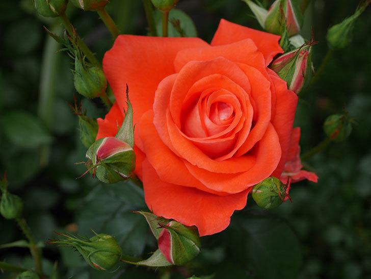 ローラ(木立バラ)の花が咲いた。2019年-1.jpg