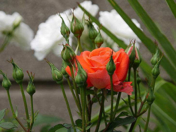 ローラ(木立バラ)の花が咲いた。2019年-3.jpg