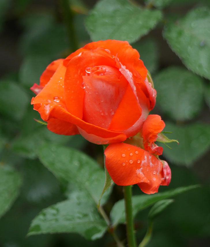 ローラ(木立バラ)の花が増えてきた。2018年-10.jpg