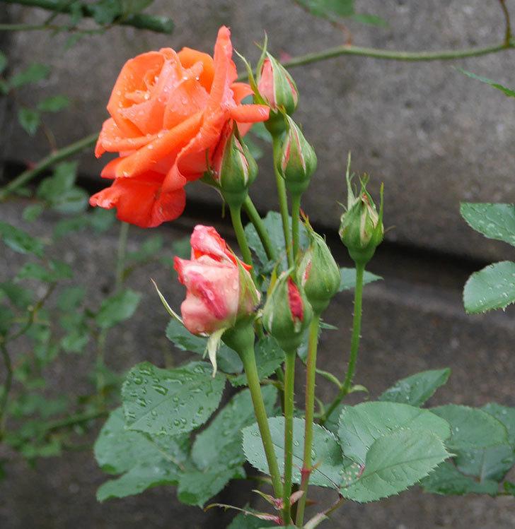 ローラ(木立バラ)の花が増えてきた。2018年-11.jpg
