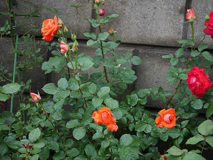ローラ(木立バラ)の花が増えてきた。2018年-6.jpg