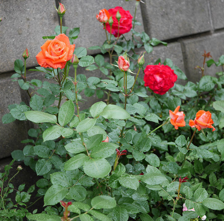 ローラ(木立バラ)の花が増えてきた。2018年-7.jpg