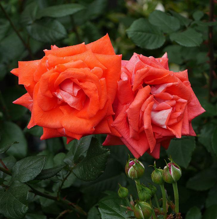 ローラ(木立バラ)の花が増えてきた。2020年-1.jpg