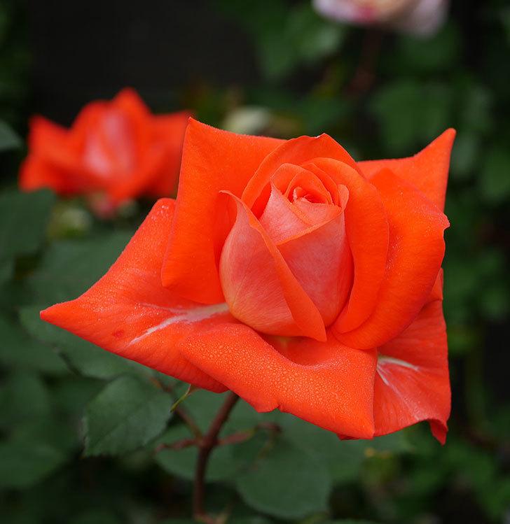 ローラ(木立バラ)の花が増えてきた。2020年-2.jpg