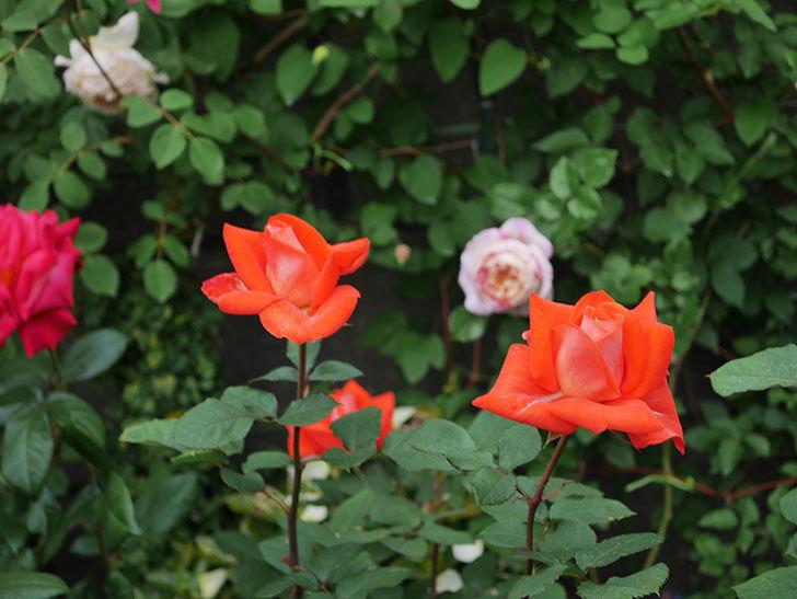 ローラ(木立バラ)の花が増えてきた。2020年-4.jpg
