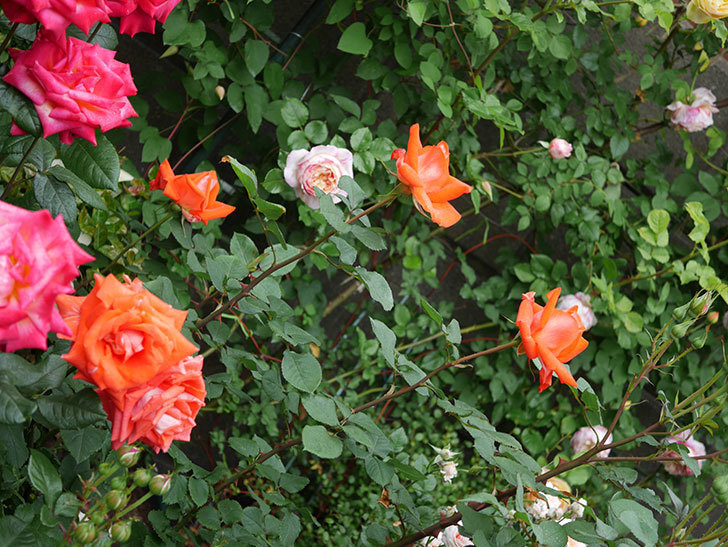 ローラ(木立バラ)の花が増えてきた。2020年-5.jpg