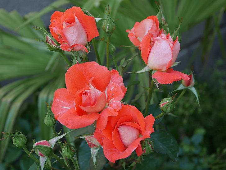 ローラ(木立バラ)の花が増えて来た。2019年-1.jpg