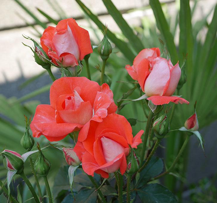 ローラ(木立バラ)の花が増えて来た。2019年-2.jpg