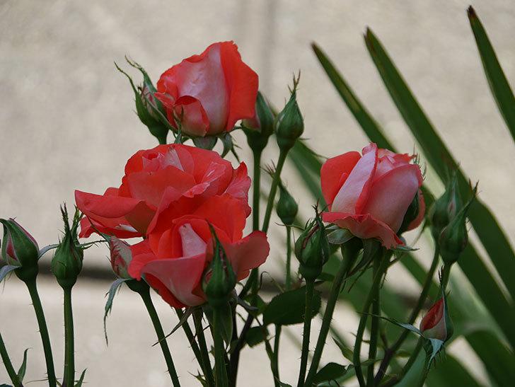 ローラ(木立バラ)の花が増えて来た。2019年-4.jpg