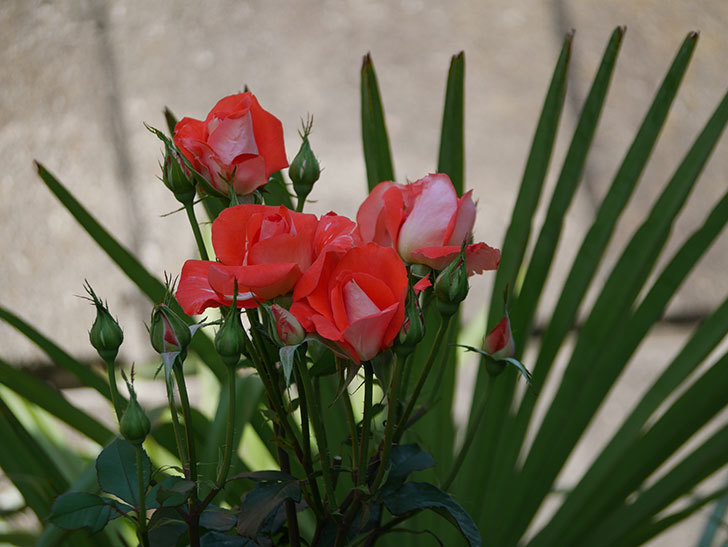 ローラ(木立バラ)の花が増えて来た。2019年-6.jpg