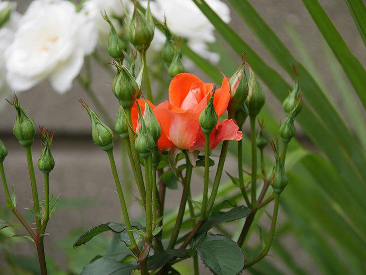 ローラ(木立バラ)の花が少し咲いた。2019年-4.jpg