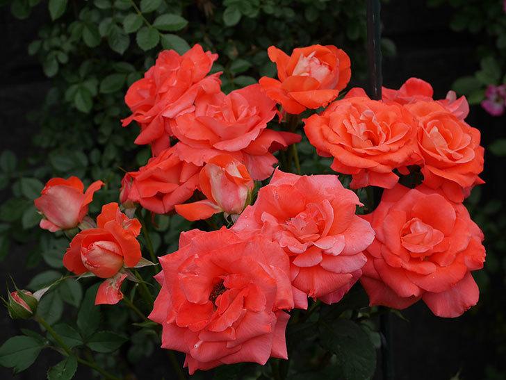 ローラ(木立バラ)の花が房でたくさん咲いた。2019年-1.jpg