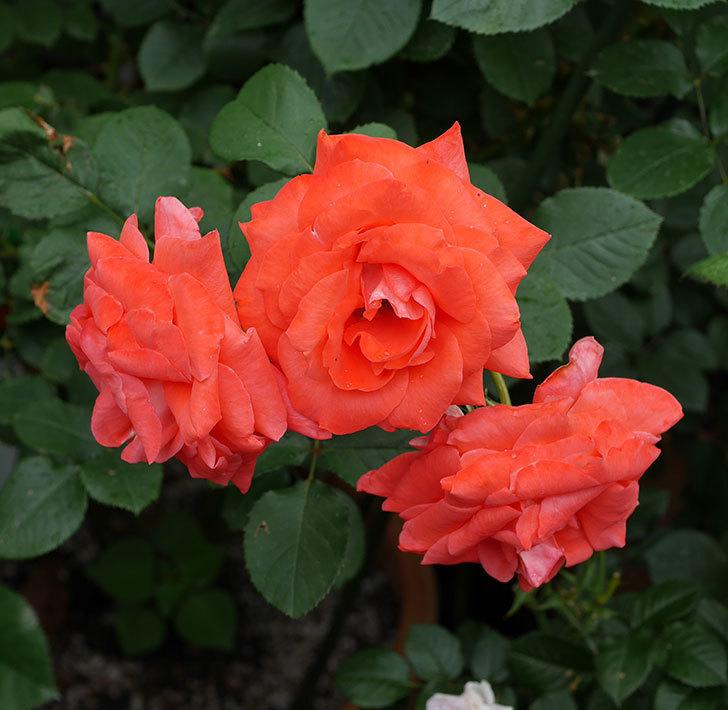 ローラ(木立バラ)の花が房でたくさん咲いた。2019年-2.jpg