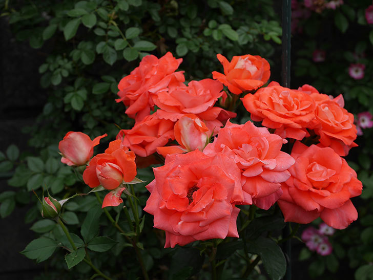 ローラ(木立バラ)の花が房でたくさん咲いた。2019年-3.jpg