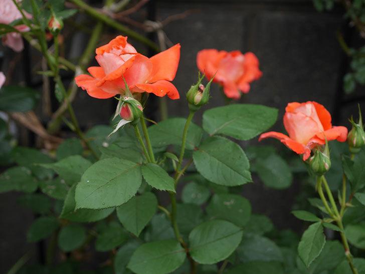 ローラ(木立バラ)の花が房でたくさん咲いた。2019年-5.jpg