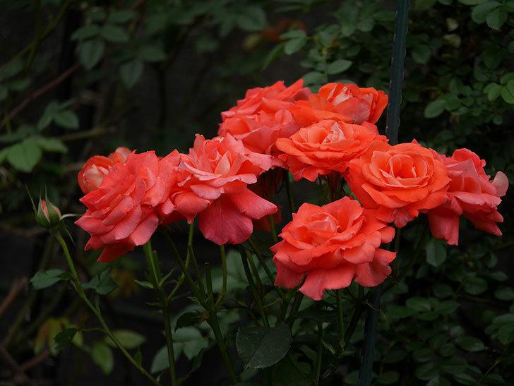 ローラ(木立バラ)の花が房でたくさん咲いた。2019年-6.jpg