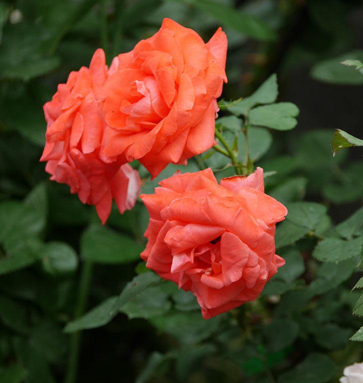 ローラ(木立バラ)の花が房でたくさん咲いた。2019年-7.jpg