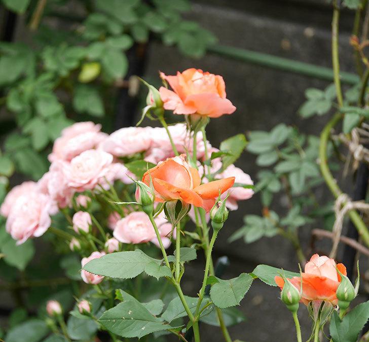ローラ(木立バラ)の花が房でたくさん咲いた。2019年-8.jpg