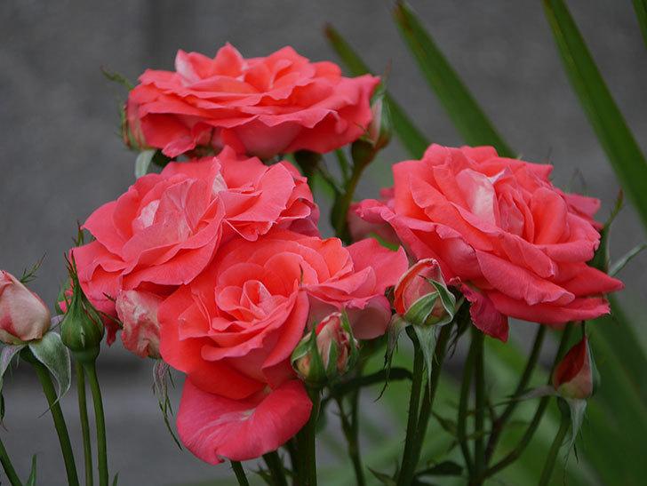 ローラ(木立バラ)の花が房で咲いた。2019年-1.jpg