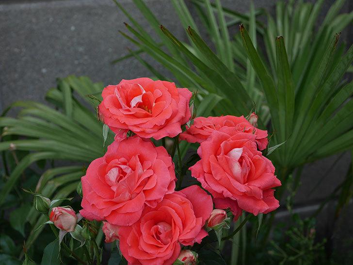 ローラ(木立バラ)の花が房で咲いた。2019年-10.jpg