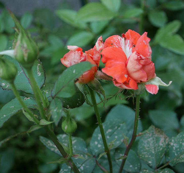 ローラ(木立バラ)の花が房で咲いた。2019年-11.jpg